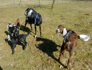 První pobyt našich koz v ohradě, nikdo nechápe, pro jsme je vyhnli z útupného domova.