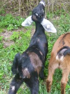 Naše nejmenší kozenka Carmenka se už pse jako velká holka